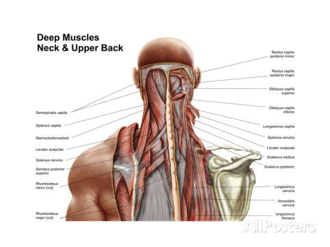 Image Result For Upper Back Muscle Diagram Anatomia Pinterest