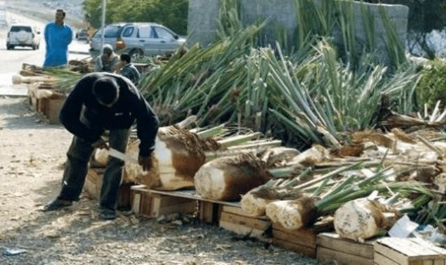 فوائد الجمار المذهلة Wonder Palm