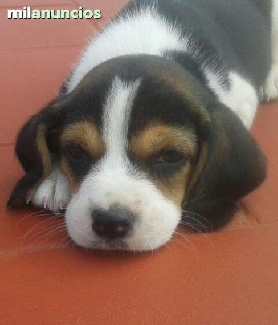 Mil Anuncios Com Compra Venta De Beagles Anuncios Con Fotos De