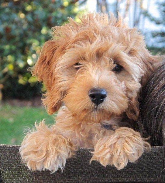 cockapoo puppy colors cockapoo colors apricot animal pinterest cockapoo puppies. Black Bedroom Furniture Sets. Home Design Ideas