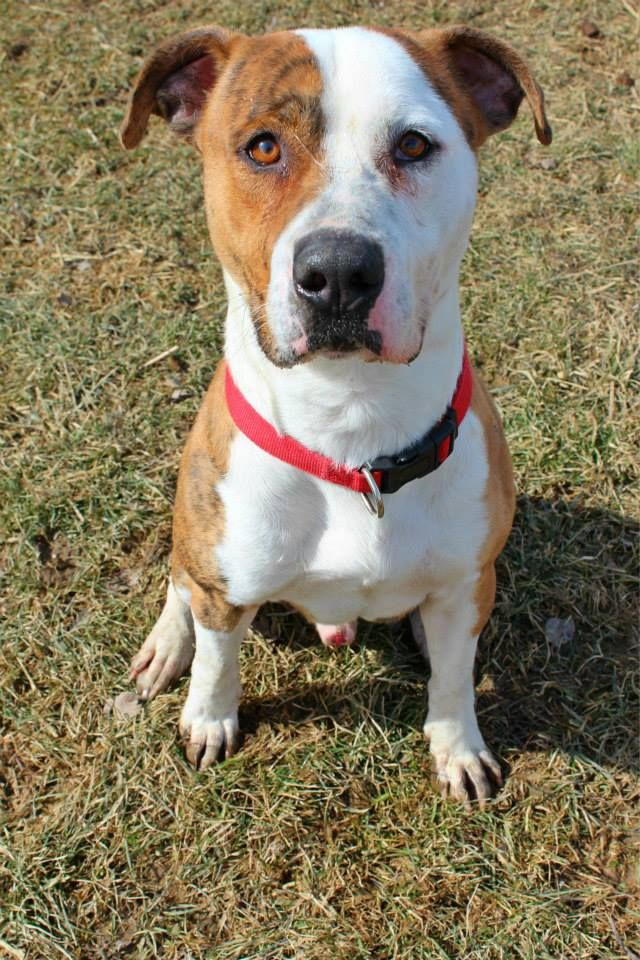 Adopt Kennel 32 on Bulldog dog, American bulldog, Dog