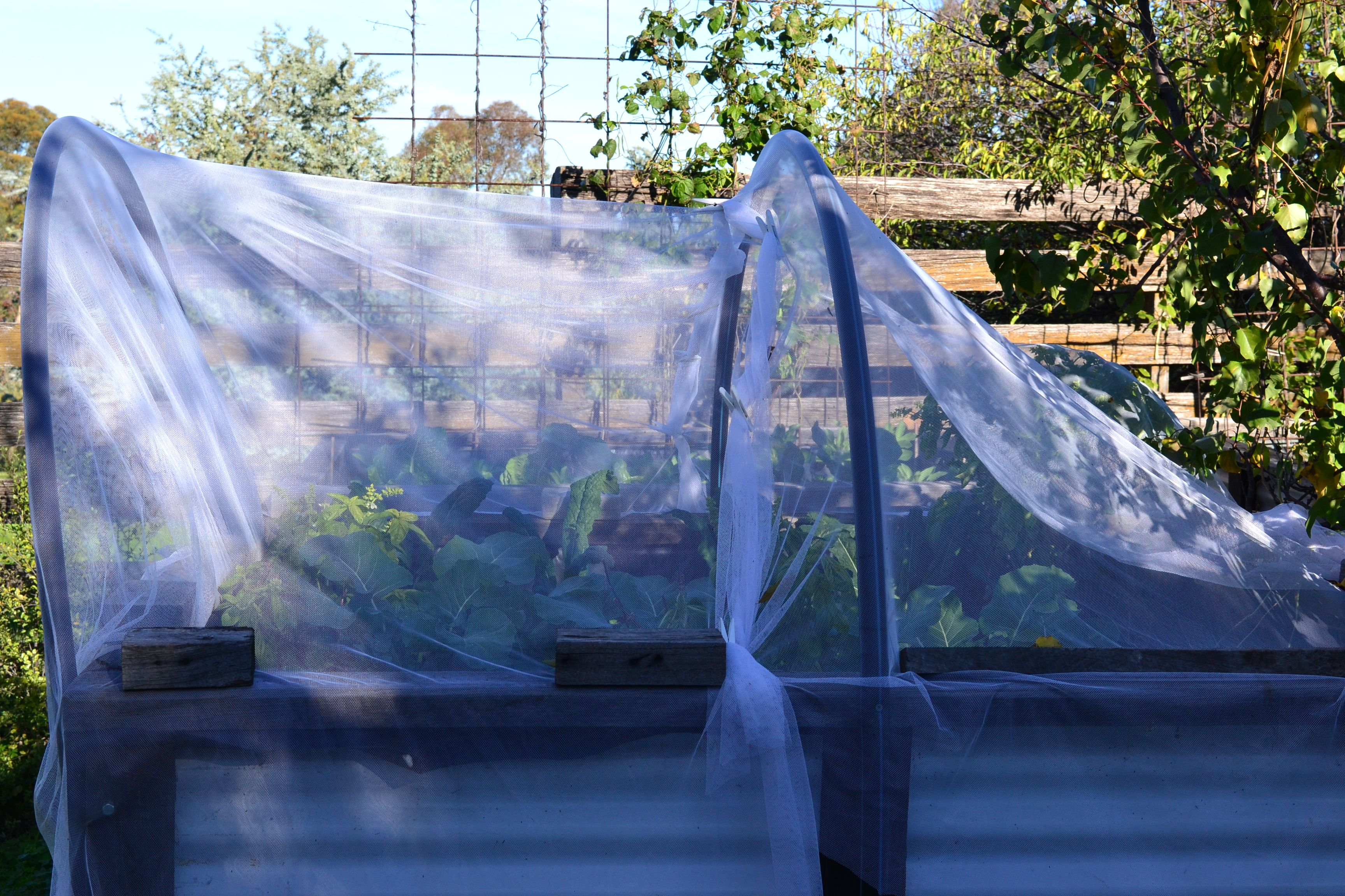 Brassica bed, all swathed in mosquito netting to protect them from the White Cabbage Moths...