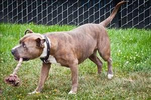Danny Boy is an adoptable Pit Bull Terrier Dog in Napa, CA. Hi! Danny Boy here! Don't let my large size scare you. I'm just a big goofy boy. I have lots of energy, so I will need owners who are strong...