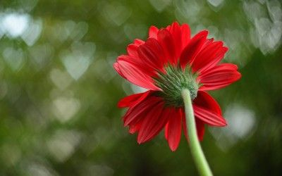 Red Single Flower Hearts Background Wallpaper