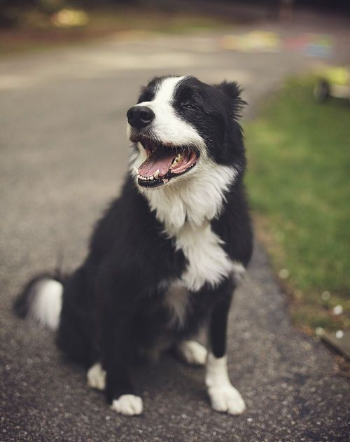 Pin by Ponnu swamy on Free Hit   Collie dog, Collie, Dogs