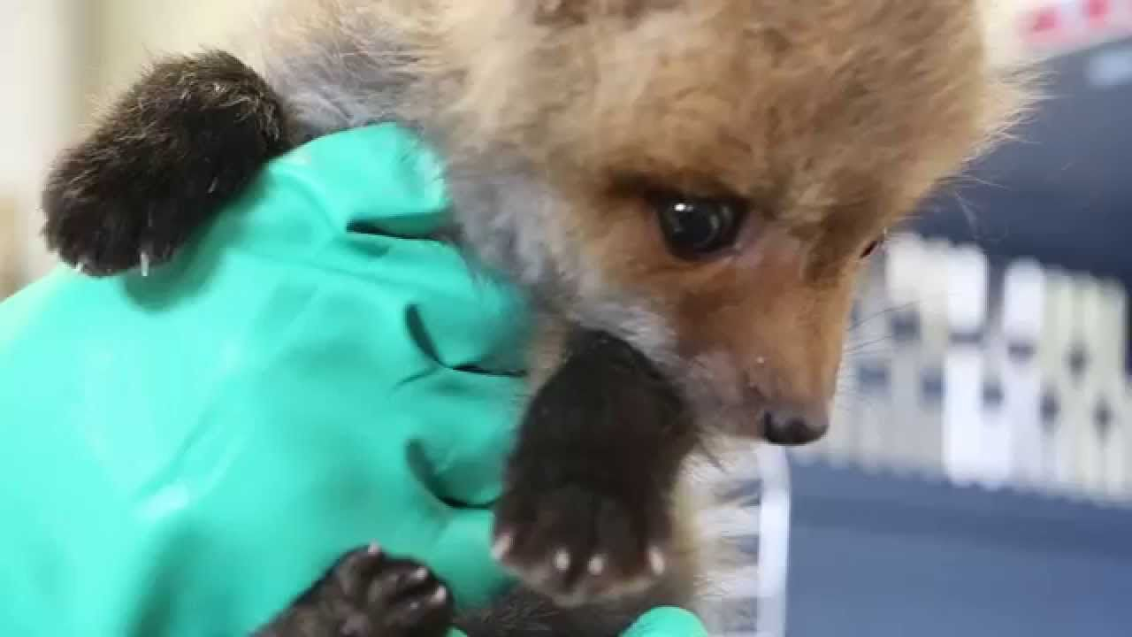 Video: Feeding time for rescued baby fox