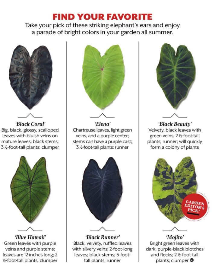 Add A Touch Of The Tropics To Your Garden Or Container With This Stunning Jumbo Elephant Ear Variety Elephant Ear Bulbs Elephant Ear Plant Black Elephant Ears