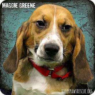 South Plainfield Nj Beagle Meet Maggie Greene A Dog For Adoption Http Www Adoptapet Com Pet 12190929 South Pla South Plainfield Dog Adoption Dog Corner