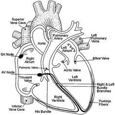Human Heart Drawing with Labels HHD03   Heart anatomy ...