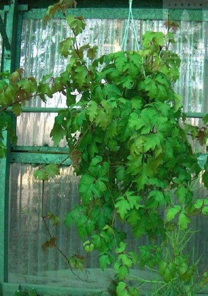 Cissus plantas de interior enredadera pinterest - Enredaderas de interior ...