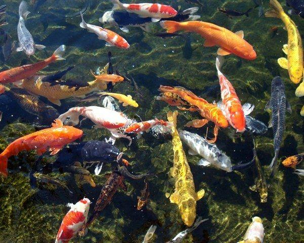 Koi teich fischarten w hlen z chten tipps see for Fischarten teich