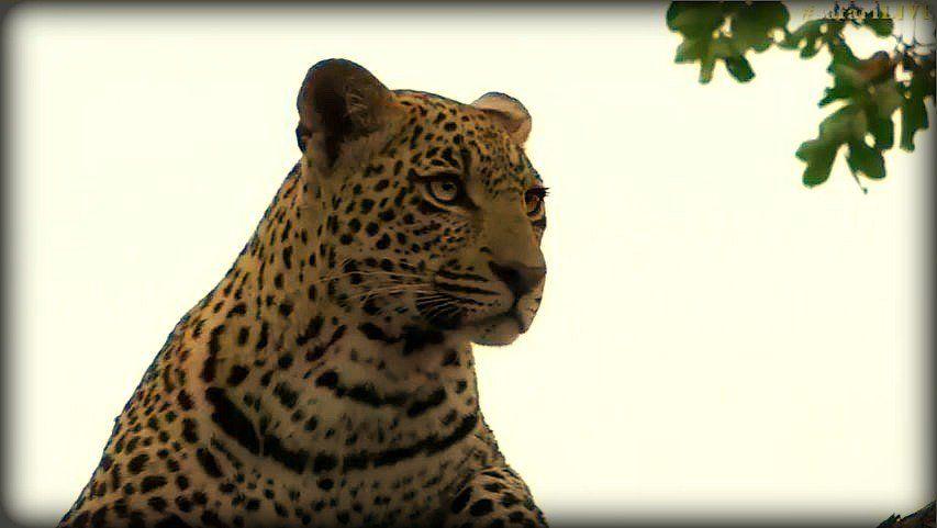 Hosana @BrentLeoSmith on #safarilive 2-27-17