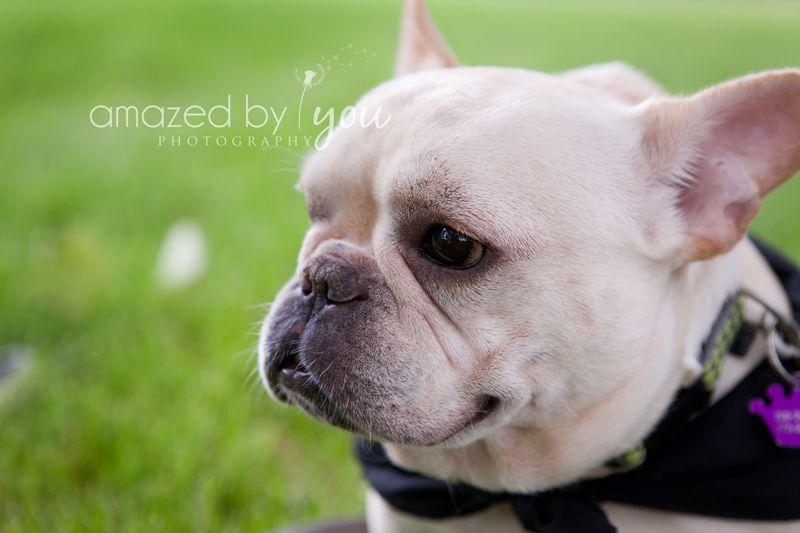 French Bulldog  www.amazedbyyouphotography.com