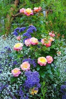 This is a beautiful combination. Now what are they? I know the pink & yellow flowers are roses, but I don't know what the blue flowers are or the silver-leafed plant.