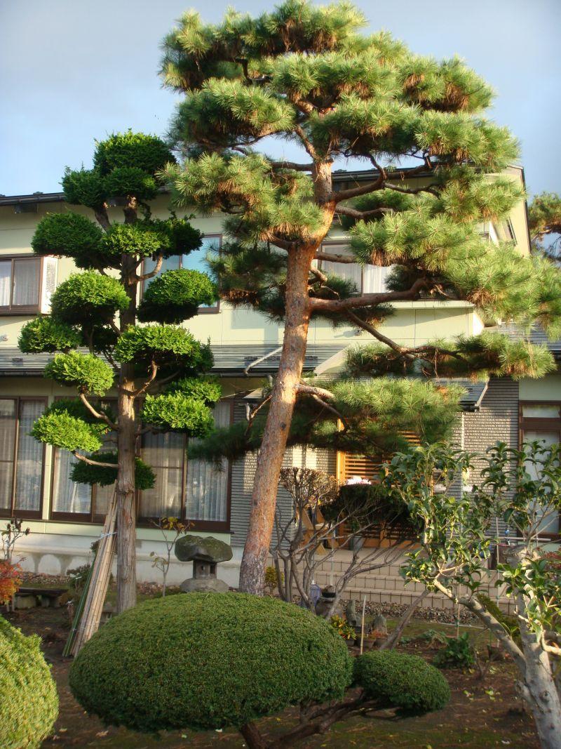 Садовые бонсаи своими руками фото 80