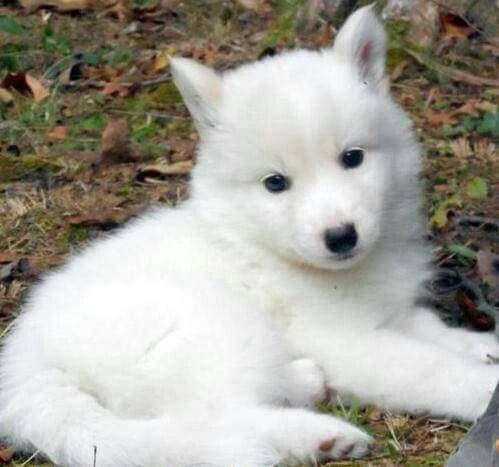 White Baby Wolf Wolf Dog Puppy Baby Wolves Wolf Spirit Animal