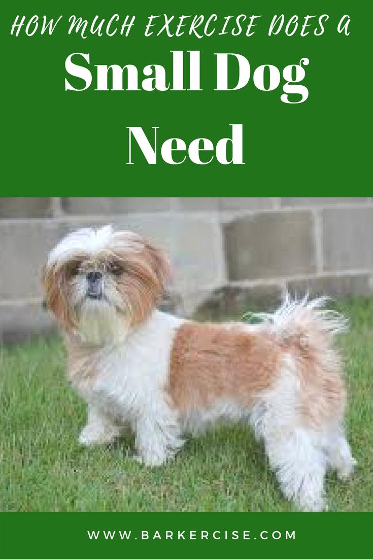 How Much Exercise Does A Small Dog Need Shih Tzu Shih Tzu Puppy Shih Tzu Dog
