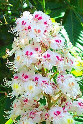 White chestnut floral pinterest white chestnut white chestnut mightylinksfo Choice Image