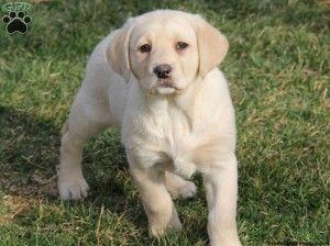 Pitbull Chow Mix Puppies For Sale Cute Baby Animals Yellow Lab