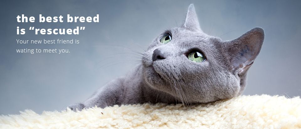L A Love And Leashes Adopt Shop Love Russian Blue Russian Blue Cat Blue Cats