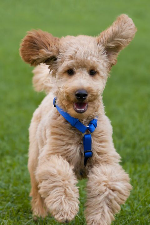 Most Intelligent Dog Breeds With Pictures