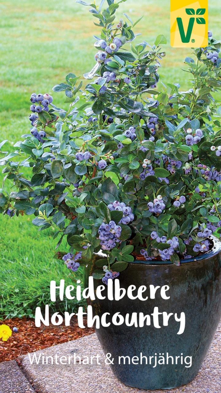 Photo of Kompakte Heidelbeerpflanze