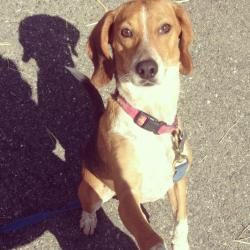 Princess Charlie Beagle Bug Is An Adoptable Beagle Dog In Flemington Newjersey Charlie Is A 2 3 Year Old B Animal Snacks Animal Abuse Awareness Beagle Dog