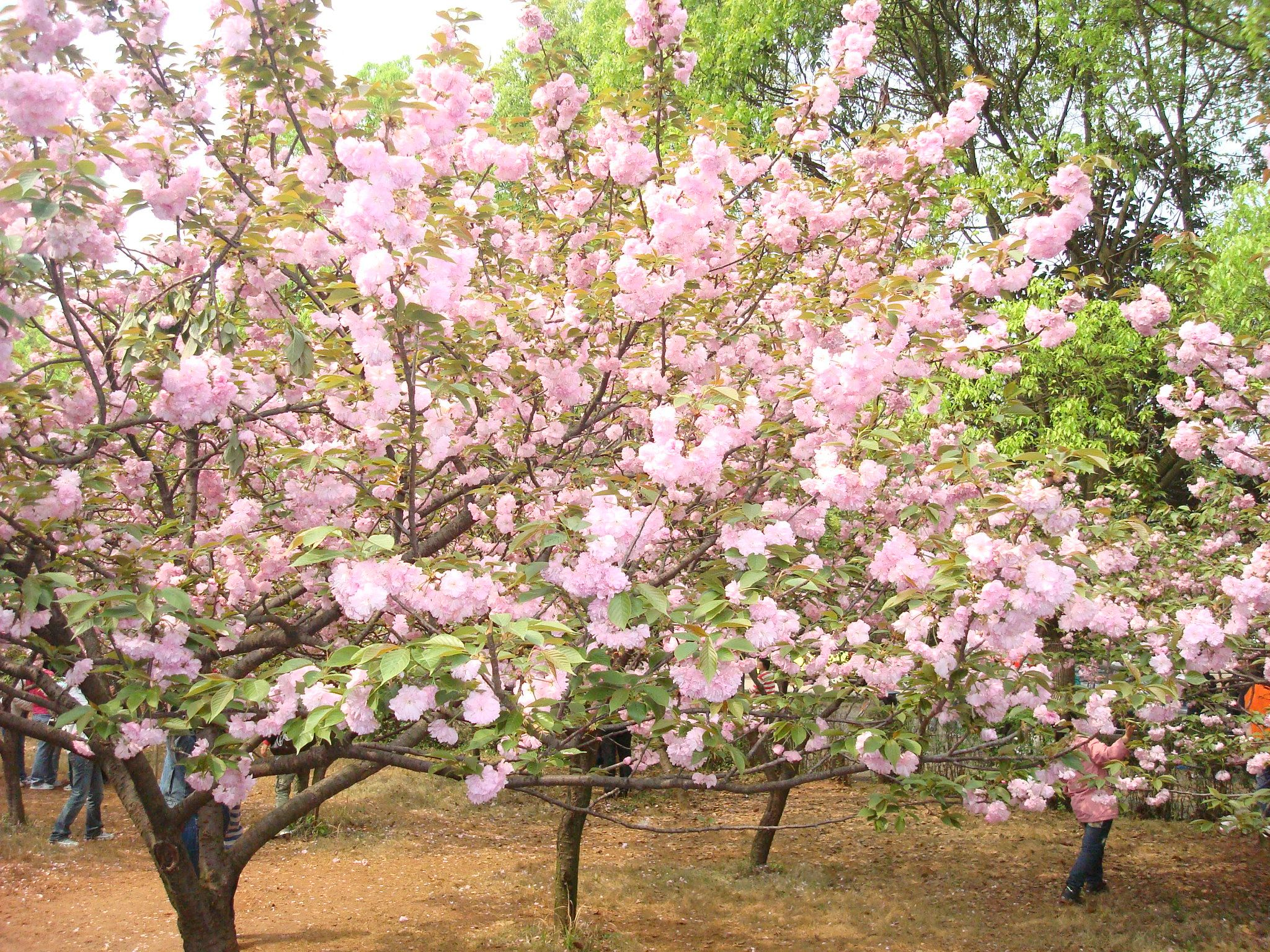 Japanese Sakura Tree How To Sow Prunus Serrulata Seeds Flowering Cherry Tree Flowering Trees Cherry Blossom Tree