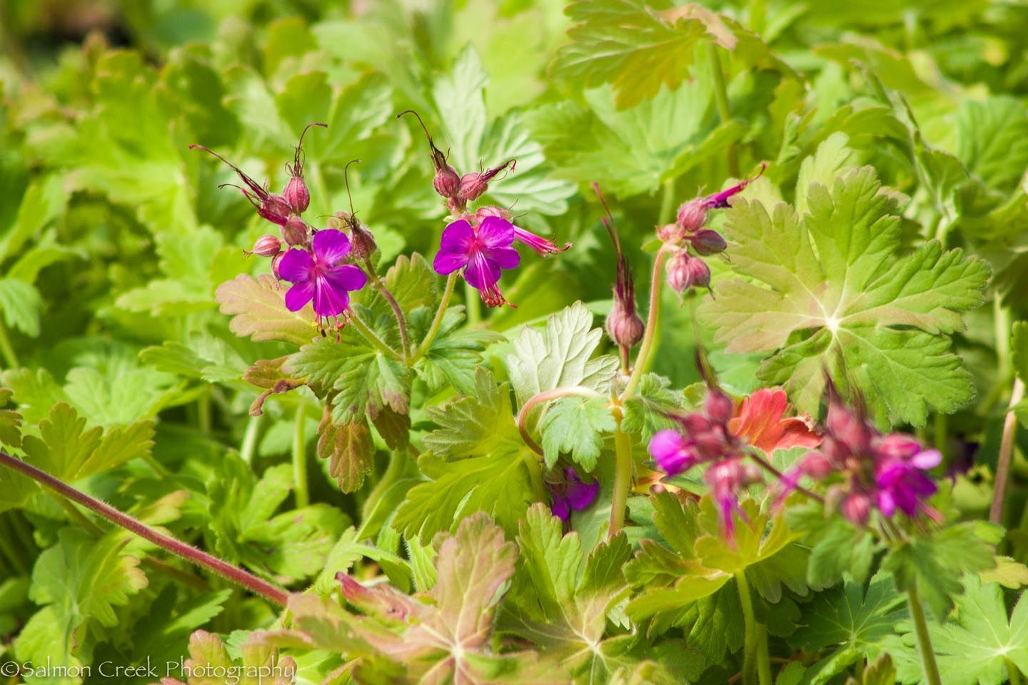 Cordial Geranium Macrorrhizum Is Available At Digging Dog Mailorder Named Thick Fleshy Rhizomes By Which It Our Plant This We Love Geranium For houzz-03 Digging Dog Nursery