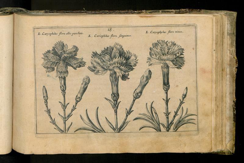 109 - 18. [Caryophilus flore albo punctato, flore sanguineo, flore niveo.] - Seite - Inhouse-Digitalisierung