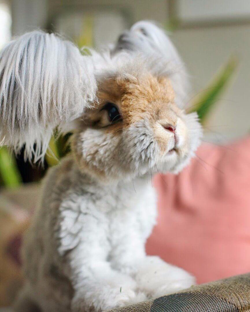 adorable angora fluffy rabbit look like a living doll fluffy