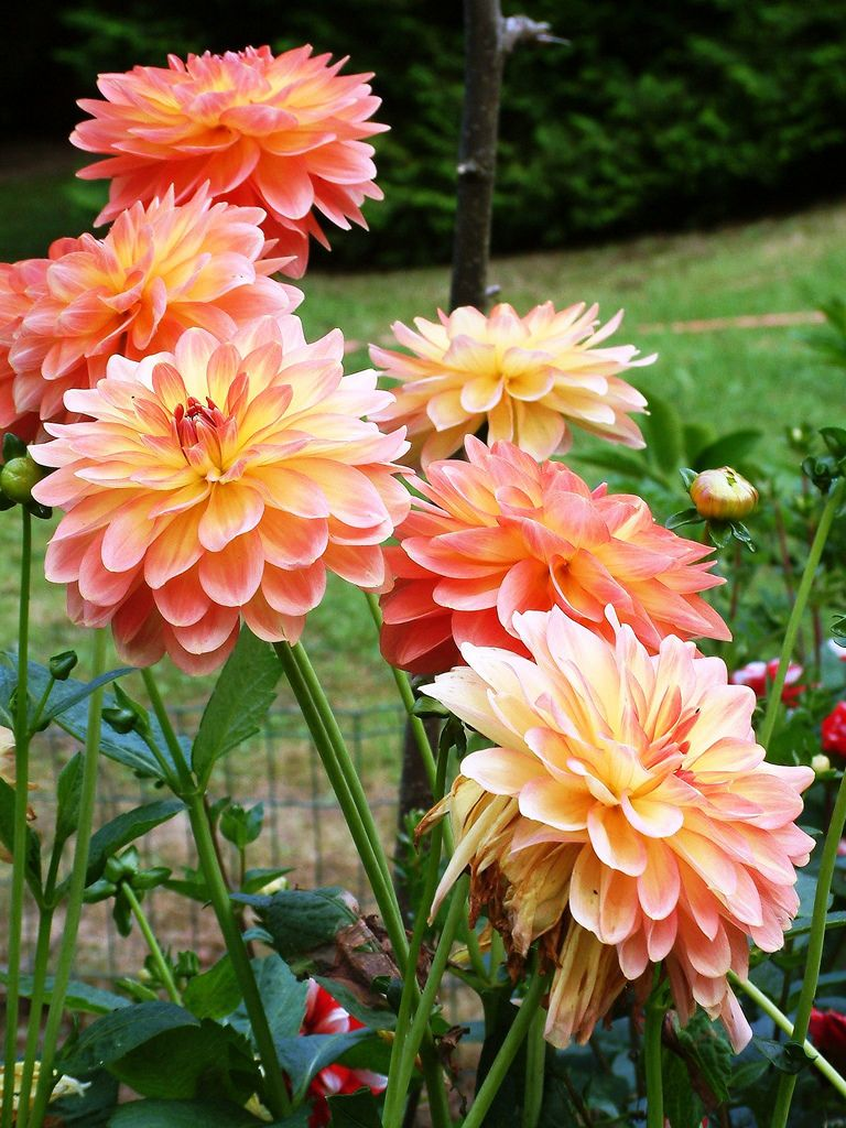 Pin On Colors Of Dahlias