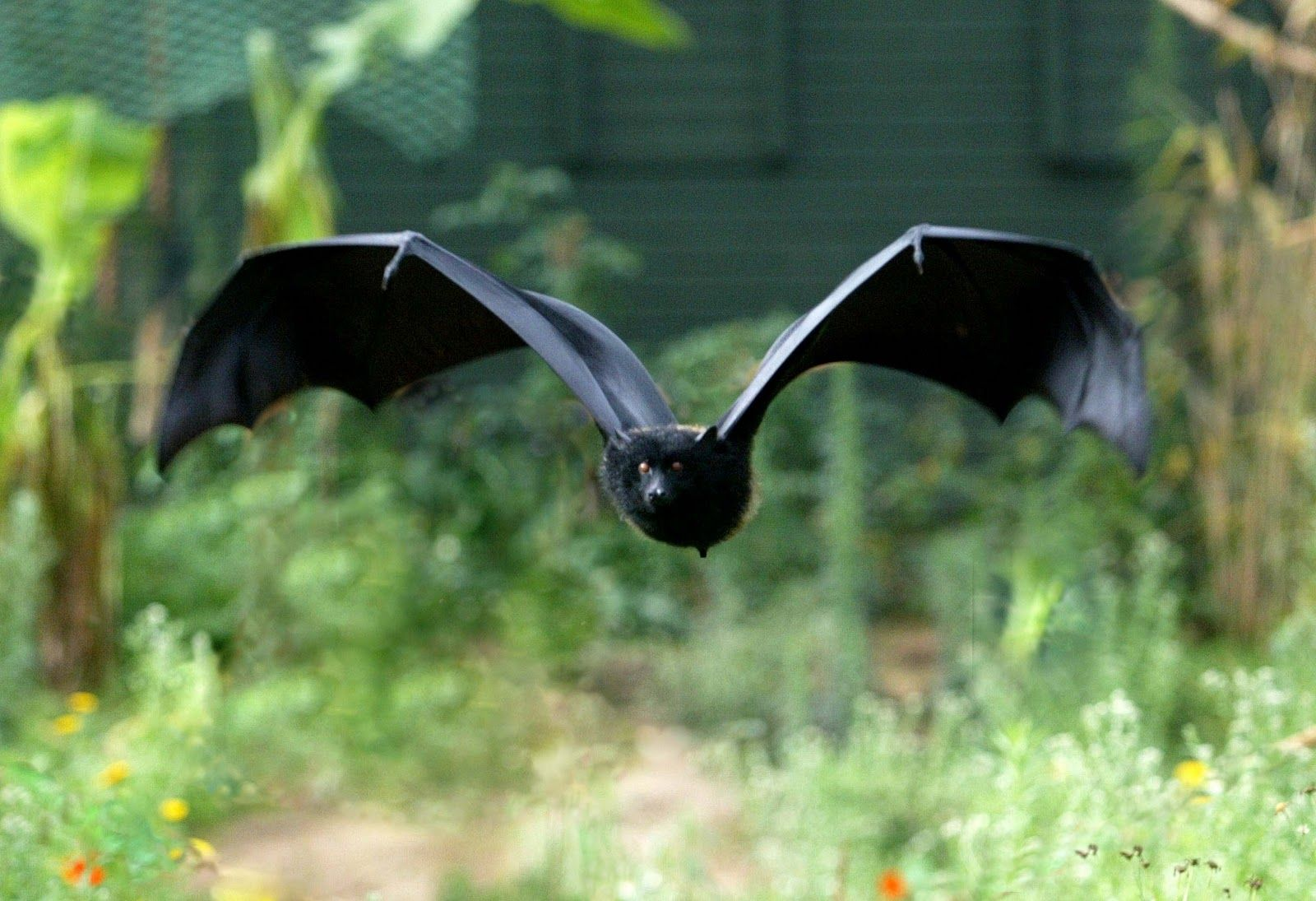 Livingstone's Fruit Bat (Comoro Flying Fox) - Pteropus livingstonii - This Old World bat is of the family Pteropodidae and is found only in the Comoros islands of the western Indian Ocean. It is the largest and rarest of all Comorian species - Image : © Richard Wainwright
