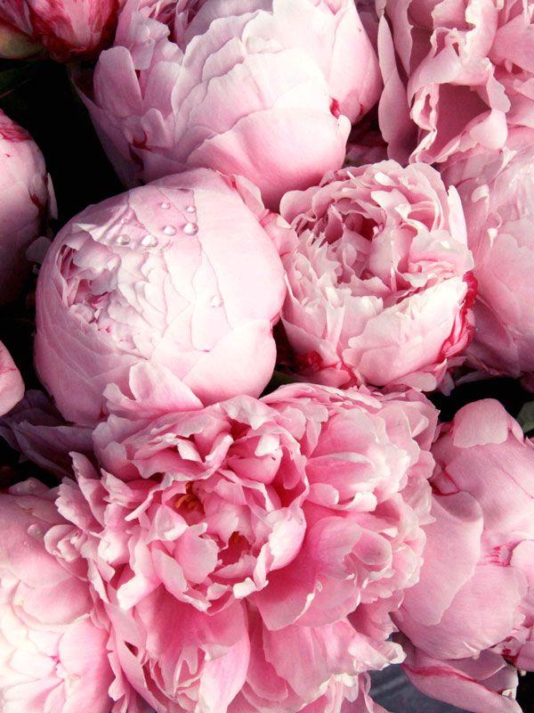 Peonies Are Gorgeous Pfingstrosen Rosa Pfingstrosen Und Hintergrundbilder Blumen