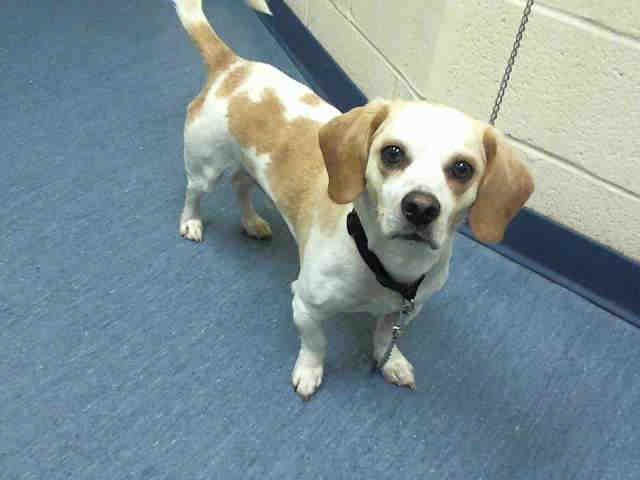 Biscuit Pittsburgh Pa Petharbor Com Animal Shelter Adopt A