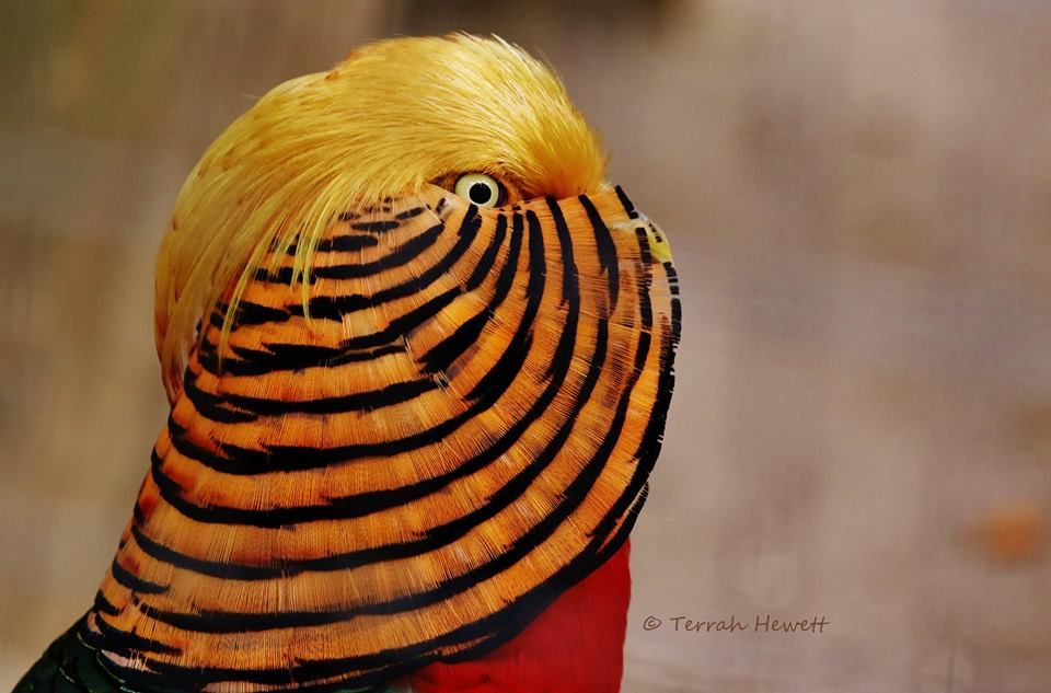 Red and Gold Ring necked Pheasant Birds Pinterest