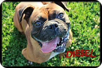 Euclid Oh Boxer Pug Mix Meet Diesel A Dog For Adoption Http
