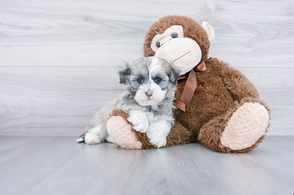 Havanese Puppies for Sale Ohio Havanese Pups Online in