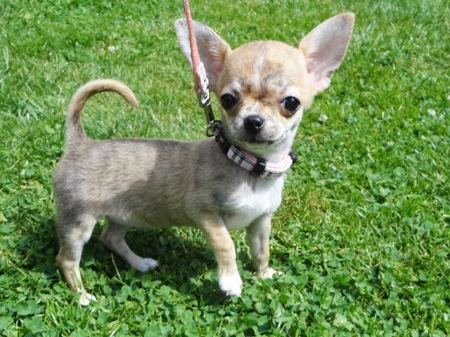 Who Needs Antenna When You Have Ears Like That S Cute Chihuahua Chihuahua Puppies Toy Dog Breeds