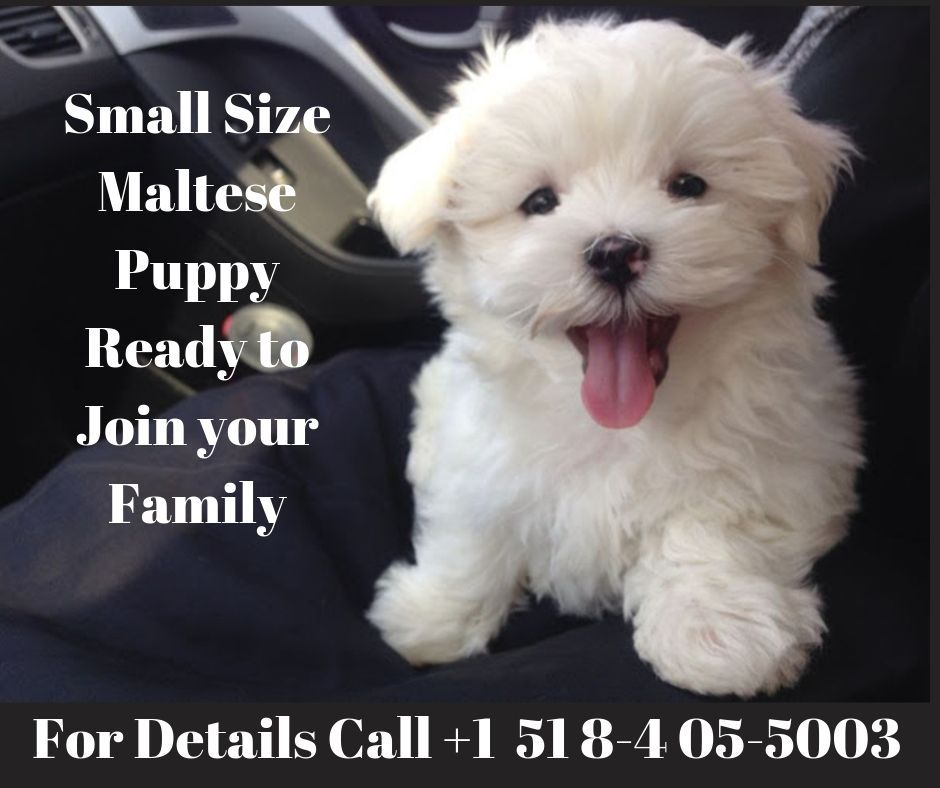 Maltese Puppy For Sale Maltese Puppy Maltese Puppies For Sale