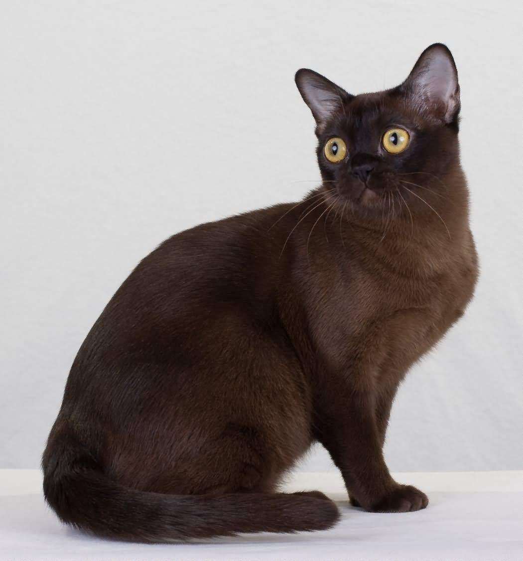 31 Very Beautiful Burmese Cat Photos And Pictures Burmese Cat Fluffy Cat Breeds Cat Breeds