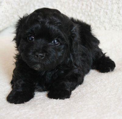 3 Beautiful Black Havanese Puppy 3 Www Havahughavanese Com