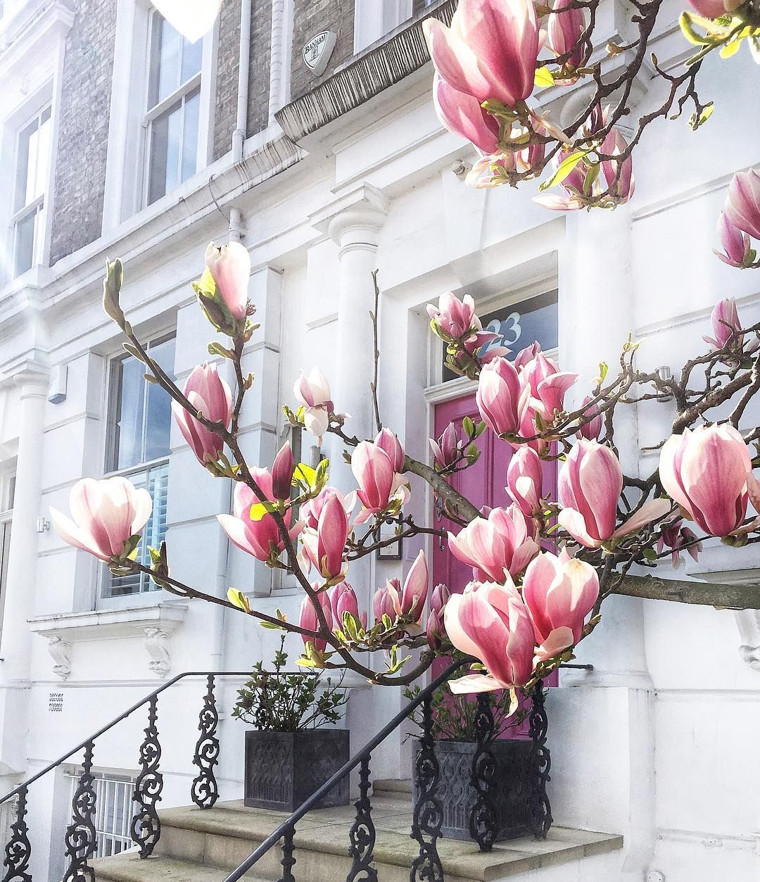 How To Identify 11 Types Of Magnolia Flowers Pink White Flowers Blooming Trees Magnolia Flower