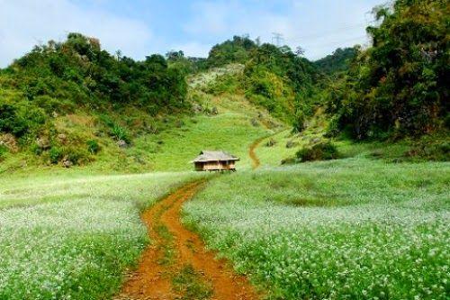 Tháng 11 ở Mộc Châu – Hoa cải trắng nở rộ.
