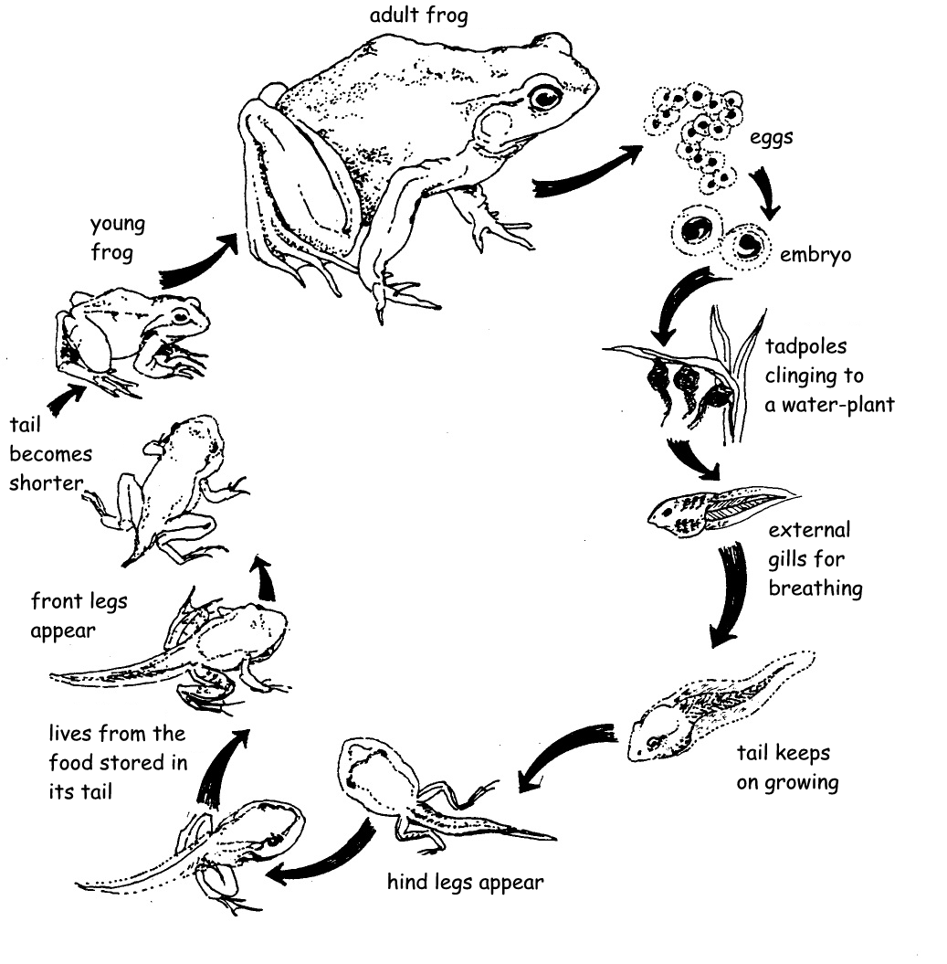 Lifecycle Of Tadpole To Frog