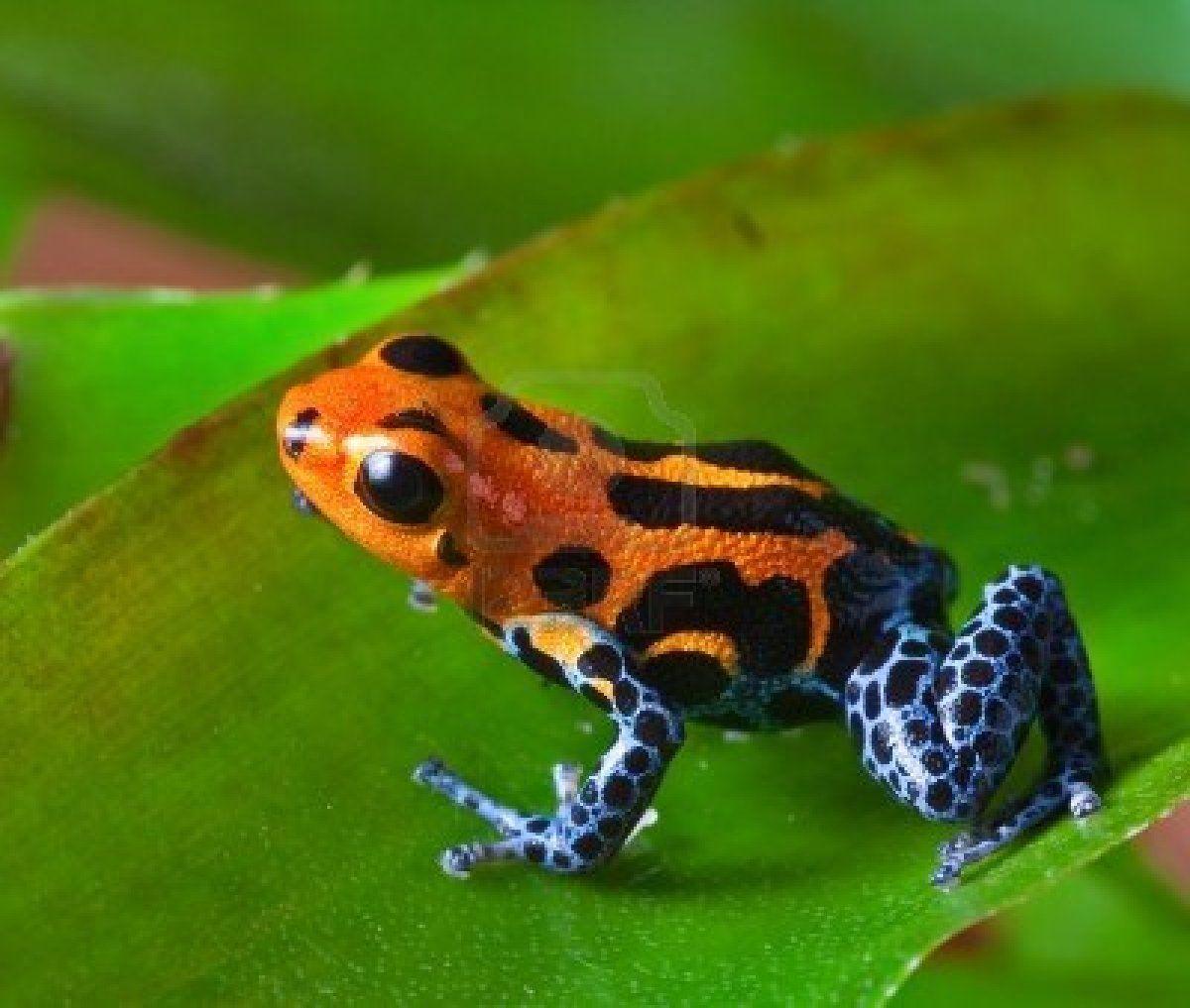 Stock Photo Poison Dart Frogs Rainforest Animals Rainforest Frog