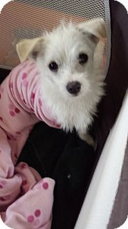 Pin By Tessa Fairbairn On Dogs White Terrier Terrier Mix Puppies