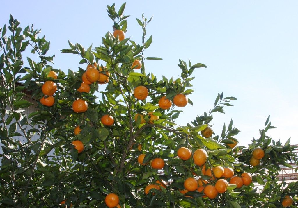 Satsuma Orange Frost A New Texas Superstar Should Expand The Planting Zone For Citrus In The Ground Moving As Far Satsuma Orange Texas Gardening Satsuma Tree