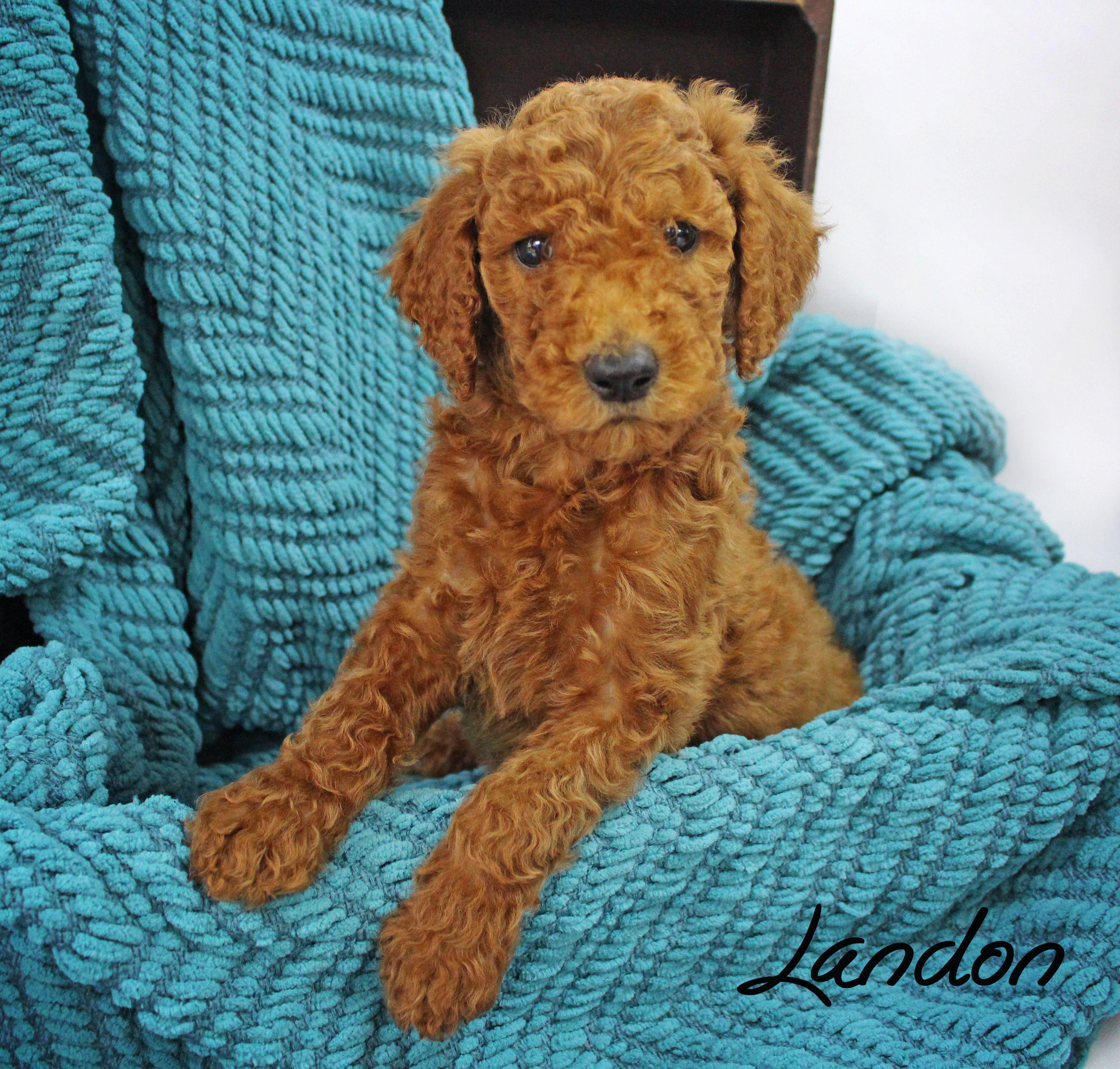 6 Week Old Standard Poodle Puppy Pet Photography Cute Sugar N