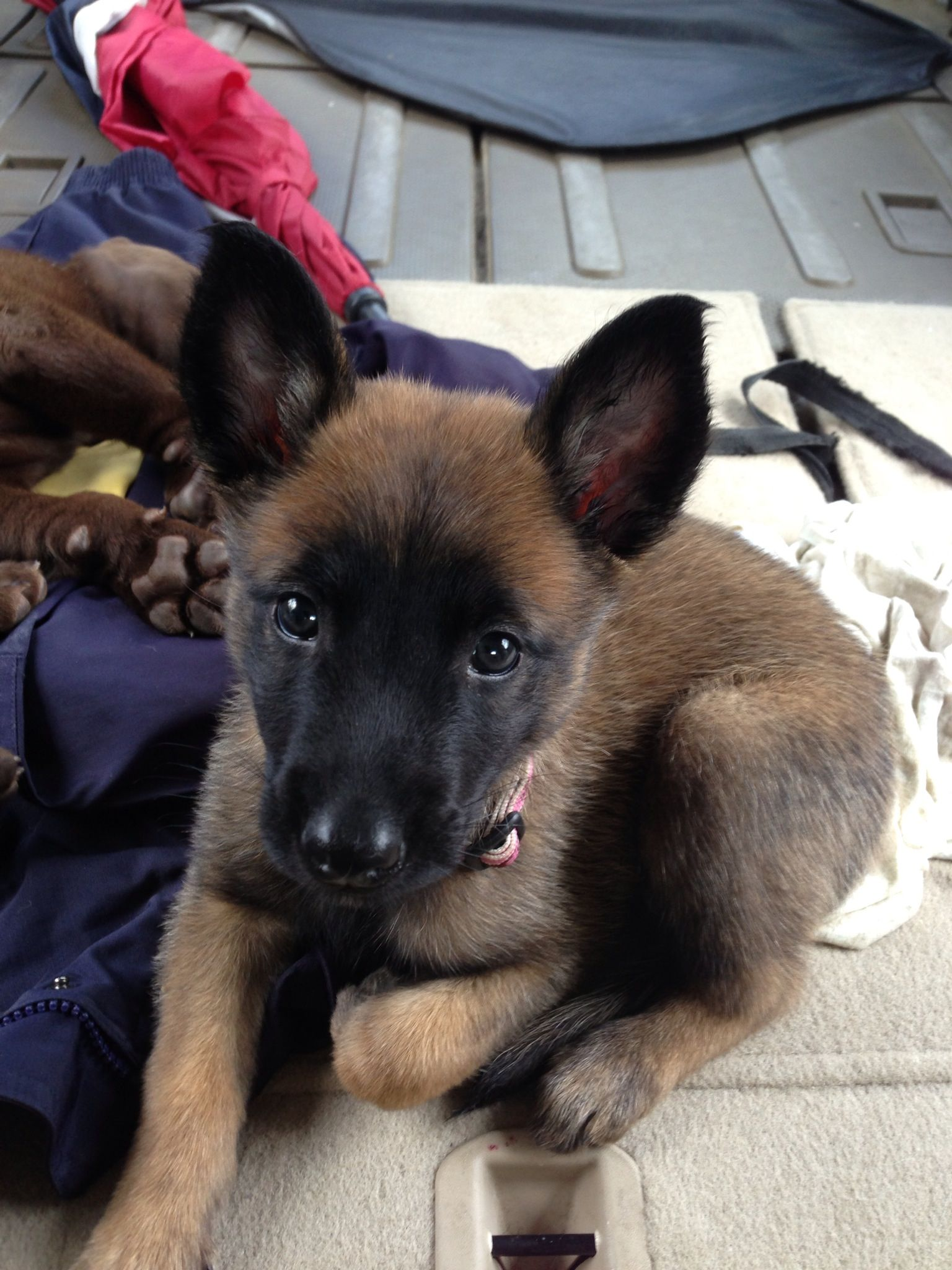 Baby Nany Malinois Pinterest Belgian malinois Dog and Animal